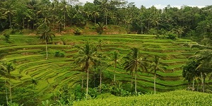 bali tegalalang rice terrace tour